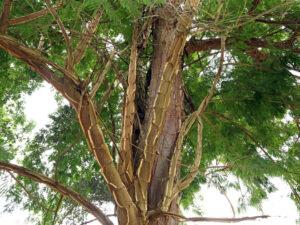 O extrato é retirado das folhas da árvore conhecida como Pau-jacaré.